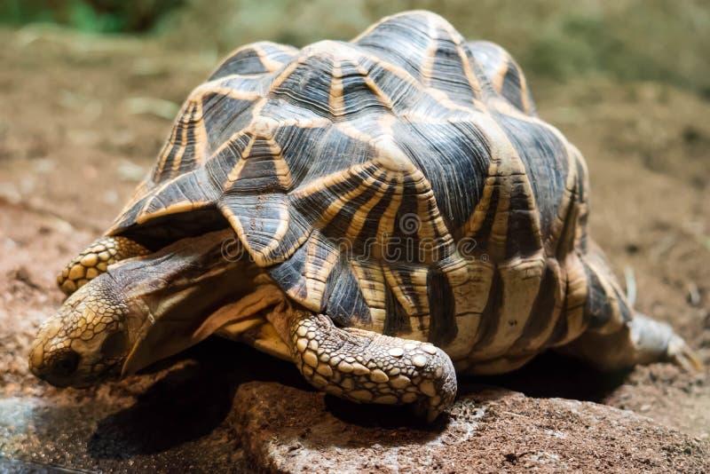 Polughshare tortoise podczas gdy badający glebowego ogniskowanie na swój sh obrazy royalty free