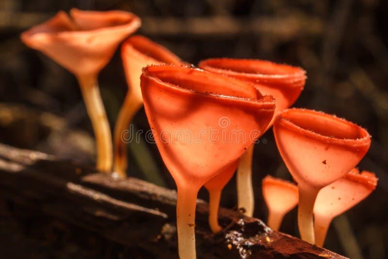 Polvo de la seta del champán de la coronaria fotos de archivo libres de regalías