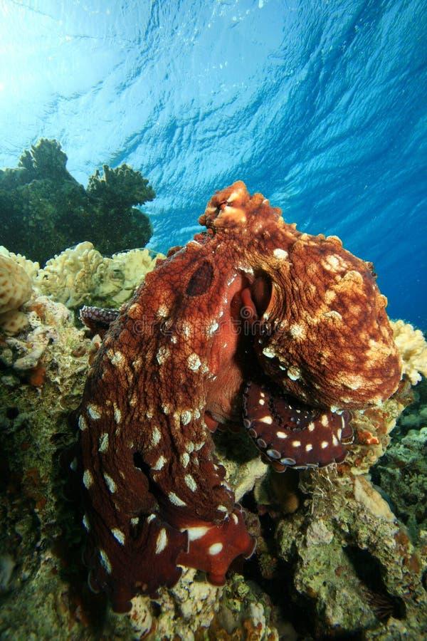 Polvo do recife imagem de stock
