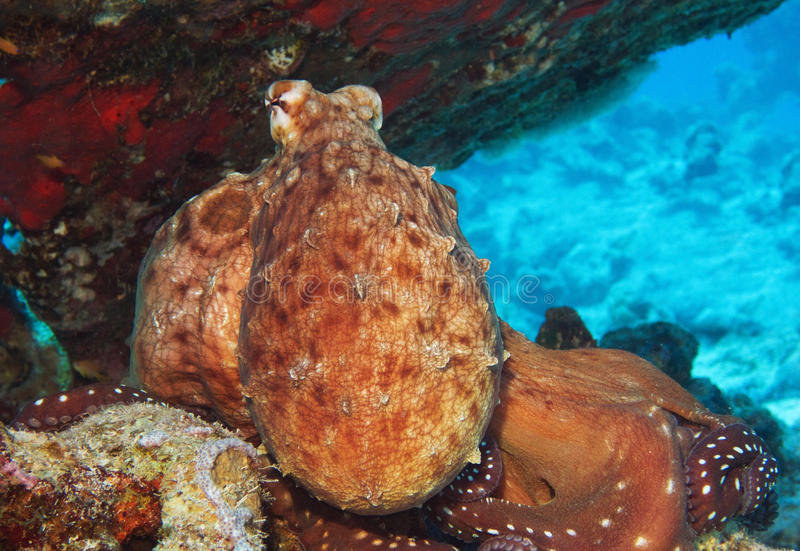 Polvo do recife foto de stock royalty free