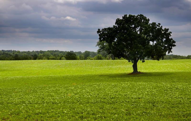 poly środka pojedynczy drzewo zdjęcie stock