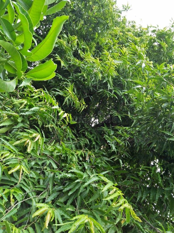 Polyalthia longifolia zdjęcie royalty free
