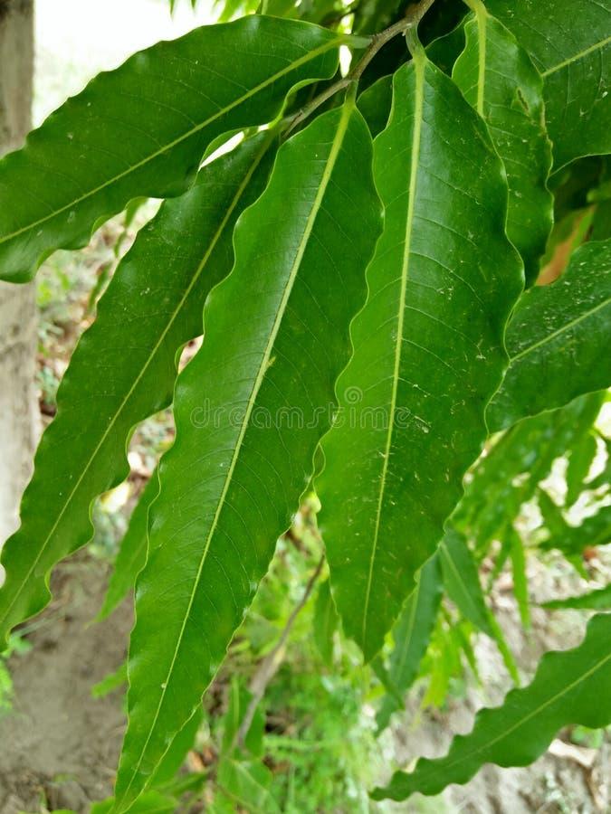 Polyalthia longifolia fotografia royalty free