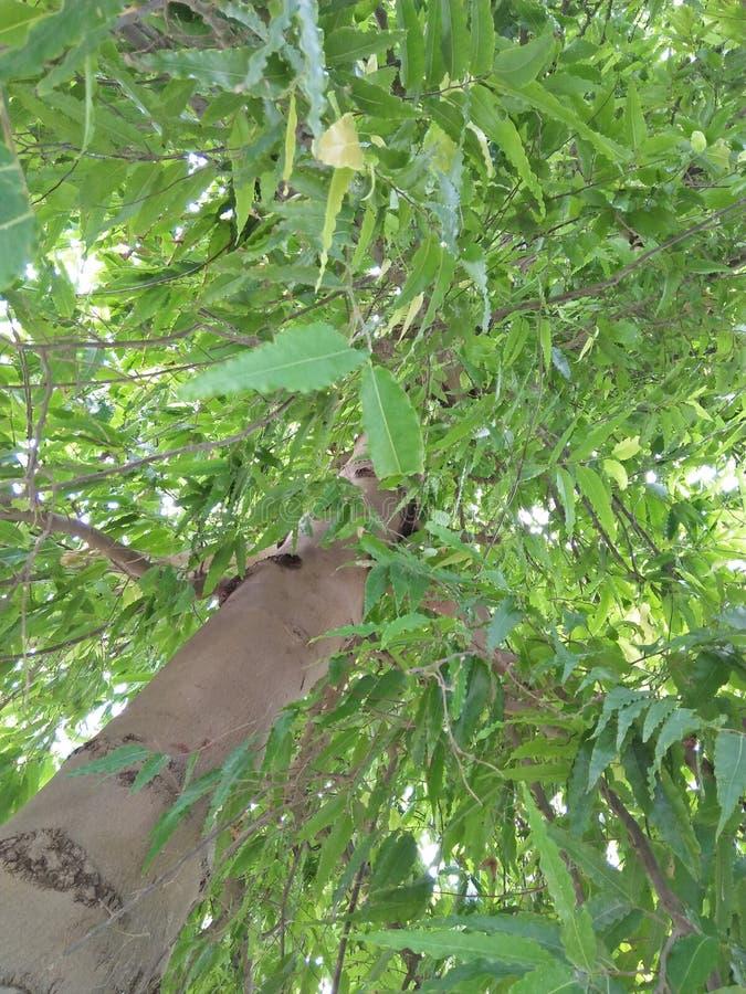 Polyalthia longifolia arkivfoton
