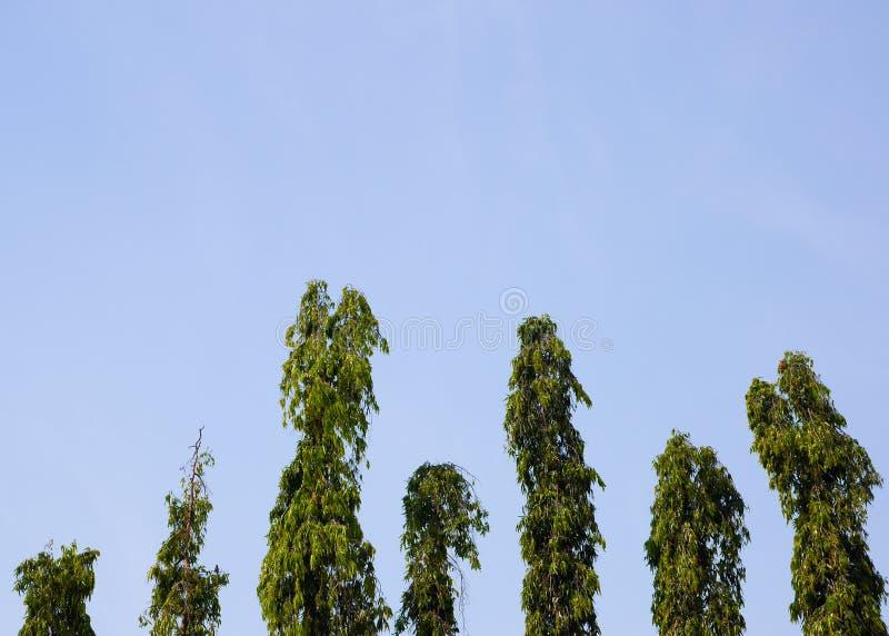 Polyalthia longifolia royaltyfri bild