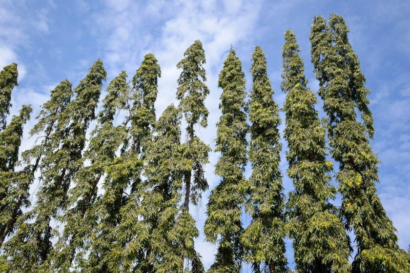 Polyalthia longifolia drzewo obrazy stock