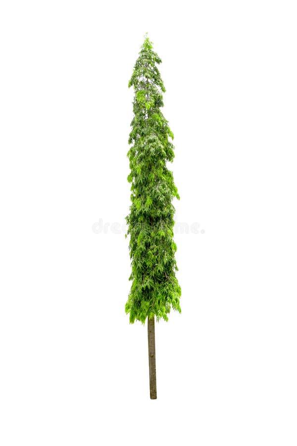 Polyalthia longifoliatr?d som isoleras p? vit bakgrund royaltyfria foton