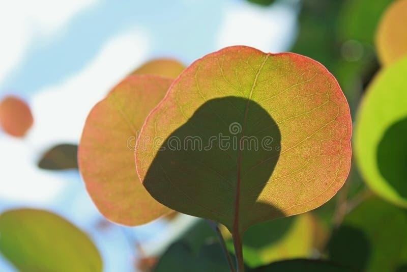 Polyanthemos do eucalipto, caixa vermelha, goma do dólar de prata imagem de stock