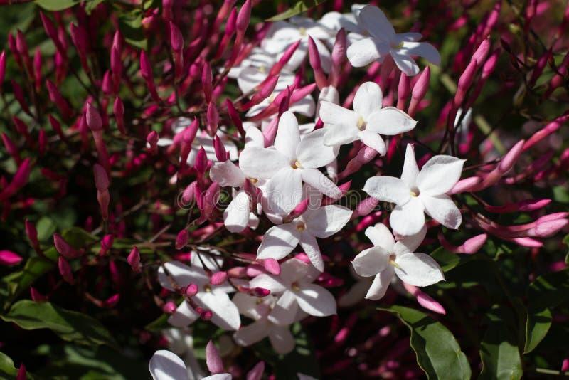 Polyanthum de Jasminum, fleur rose de sambac Liane d'étoile d'Odorate photographie stock libre de droits