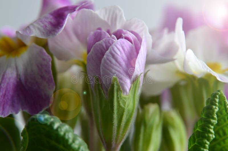 Polyanthus royalty free stock photo