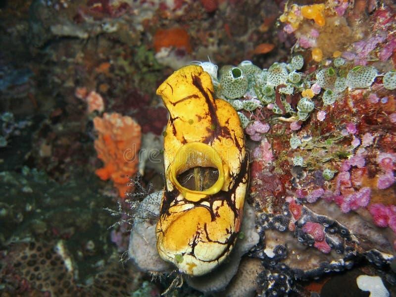 polycarpa aurata στοκ φωτογραφία με δικαίωμα ελεύθερης χρήσης