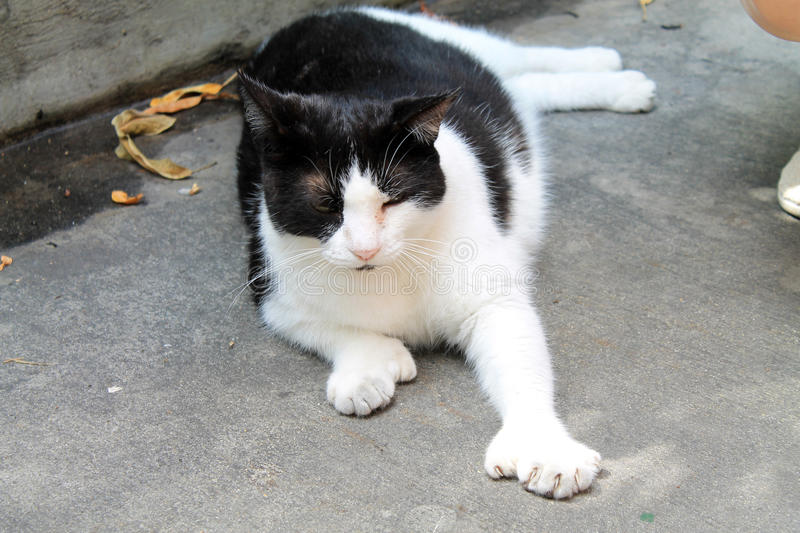 Polydactyl cat. Polydactyl feline relaxing resting on ground with left paw stretched out in front of it displaying oversized paw. Hemingway`s house royalty free stock photo