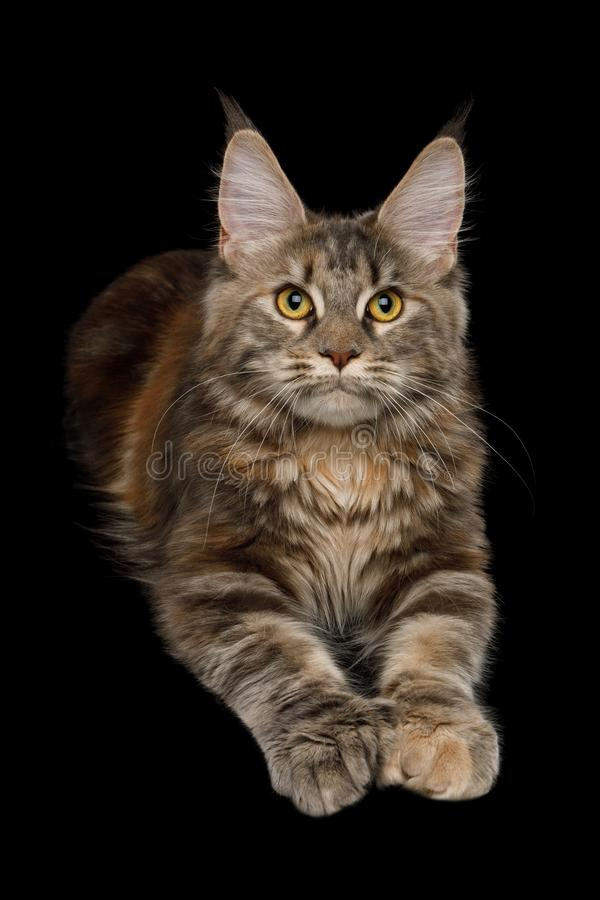 Huge Maine Coon Cat Isolated on Black Background. Polydactyl Tabby Maine Coon Cat Lying down and Raising paws on Isolated Black Background stock photos