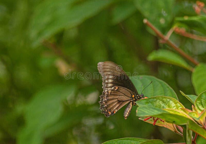 Polydamas Swallowtail Butterfly Hiding It`s Nectar Seeking, Seminole, Florida. Natural Beauty stock image