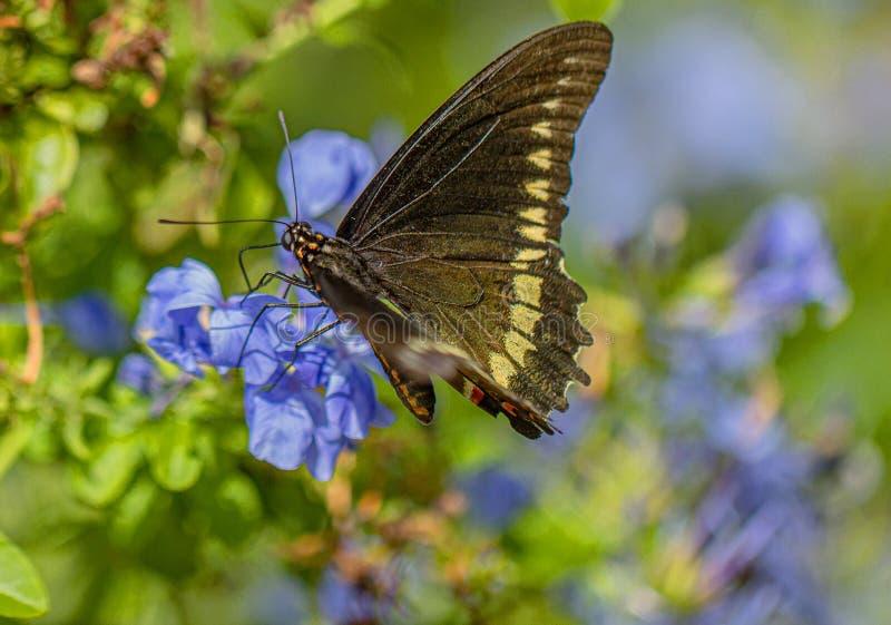 Polydamas Swallowtail motyl na Plumbago kwiatach, Seminole, Floryda zdjęcia royalty free