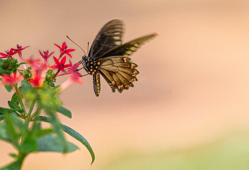 Polydamas Swallowtail popijania nektar Od Czerwonego Penta kwiatu, Seminole, Floryda obraz stock