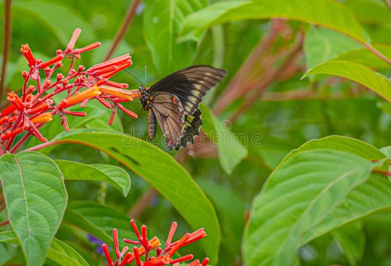 Polydamas Swallowtail, Złocisty obręcz Swallowtail, Bezogonowy Swallowtail przy Firebush kwiatem, Seminole, Floryda zdjęcie royalty free