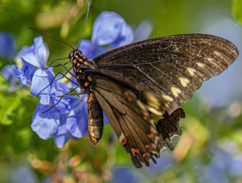 Polydamas Swallowtail, Złocisty obręcz Swallowtail, Bezogonowy Swallowtail przy Plumbago rośliną, Seminole, Floryda 3 zdjęcia stock