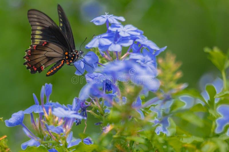 Polydamas Swallowtail, Złocisty obręcz Swallowtail, Bezogonowy Swallowtail przy Plumbago rośliną, Seminole, Floryda fotografia royalty free