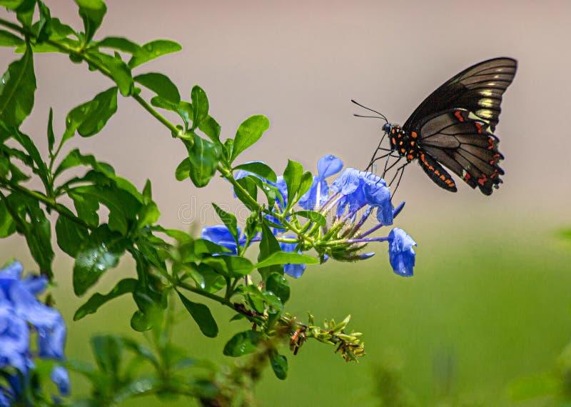 Polydamas Swallowtail, Złocisty obręcz Swallowtail, Bezogonowy Swallowtail przy Plumbago rośliną, Seminole, Floryda -2 zdjęcie royalty free