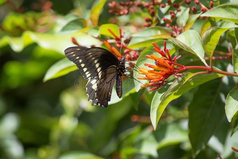 Polydamus Swallowtail fjäril på den Firebush blomman arkivbilder