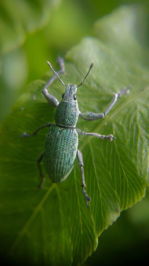 Polydrusus formosus zdjęcie stock
