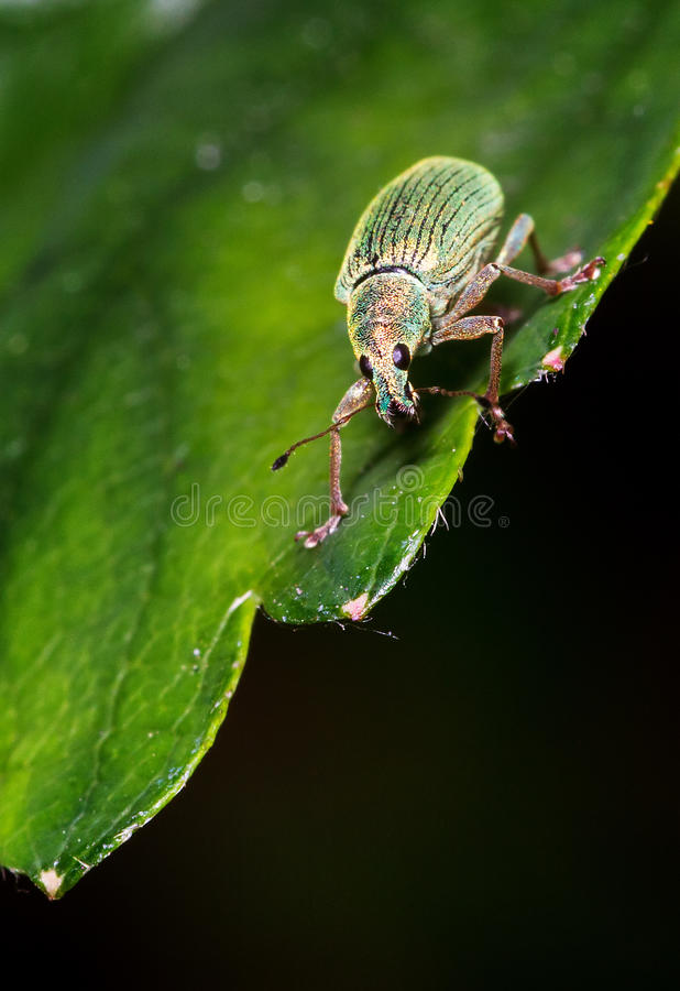 Polydrusus sericeus. A beautiful blue/green broad-nosed weevil, on a leaf in spring in the Netherlands royalty free stock image