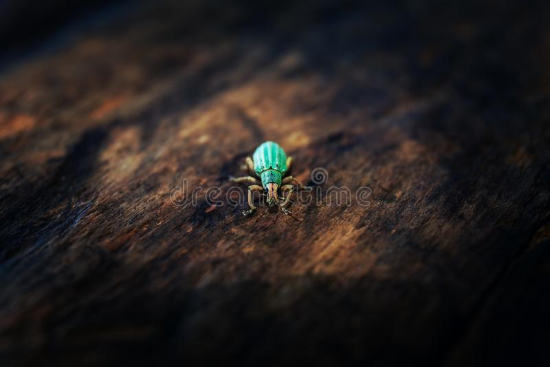 Polydrusus sericeus, Green Immigrant Leaf Weevil, Blue bug. Stock photo, Macro royalty free stock photo