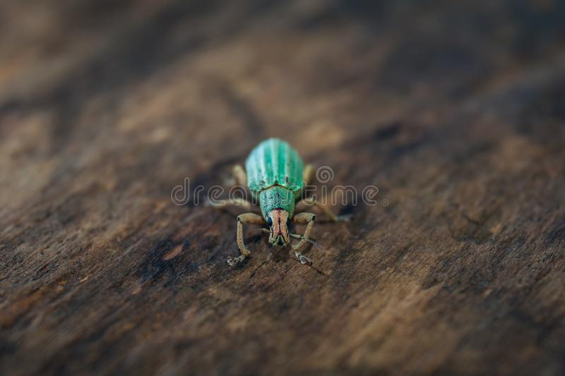 Polydrusus sericeus, Green Immigrant Leaf Weevil, Blue bug. Stock photo, Macro royalty free stock images