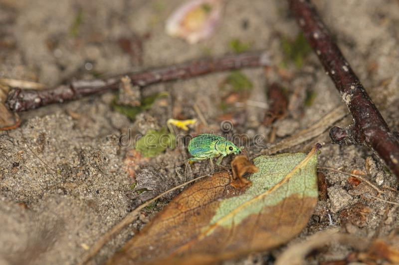 Polydrusus sericeus, Green Immigrant Leaf Weevil, walking in nature stock images