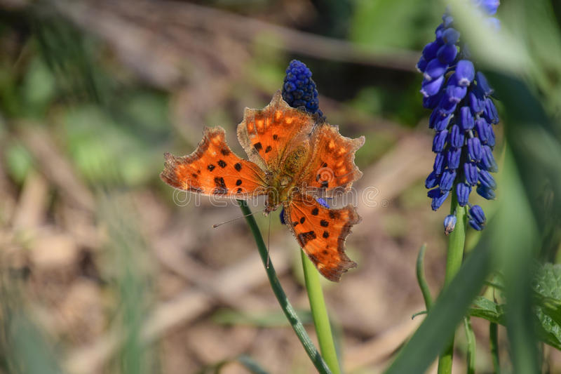 Polygonia c-album on a flower. Butterfly drinking the nectar of the flower stock photo