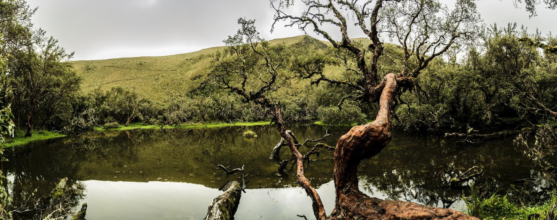 Polylepis-Baum nahe einem See lizenzfreies stockfoto