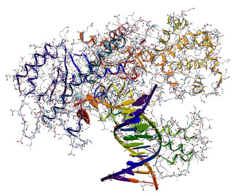Polymerase I van DNA royalty-vrije illustratie