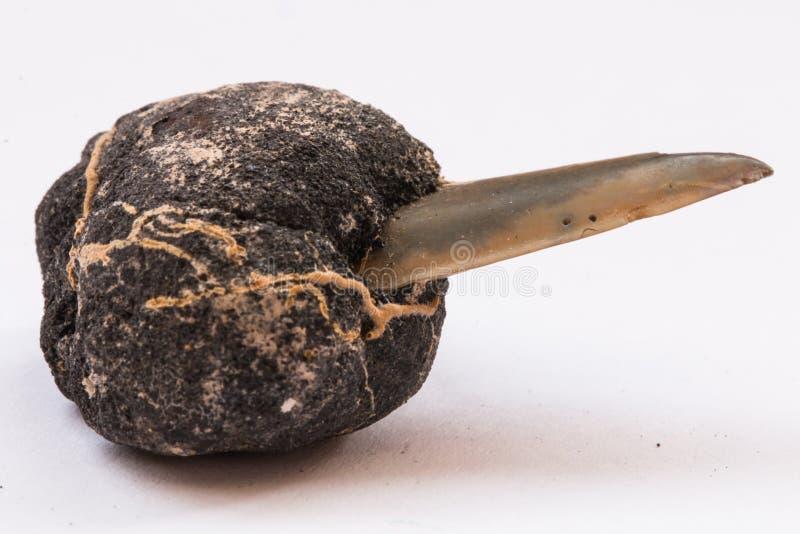 Polymetallische Knötchen mit Zahnhaifisch auf Weiß lizenzfreies stockfoto