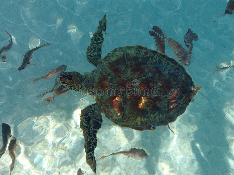 Polynesian turtle from above stock photos