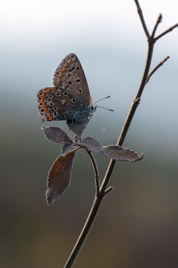 Polyommatus艾卡罗计-在一朵森林花的昼夜蝴蝶在露水 免版税库存图片
