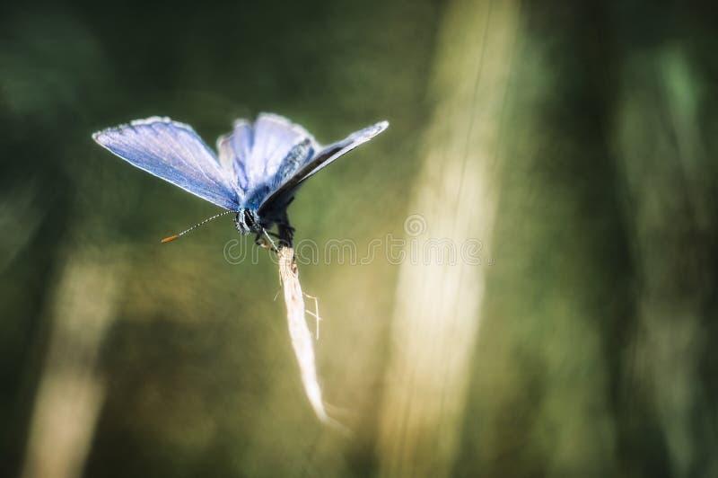 Polyommatus艾卡罗计 库存照片