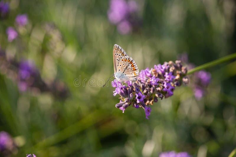 Polyommatus Ícaro en la flor del timo fotografía de archivo libre de regalías