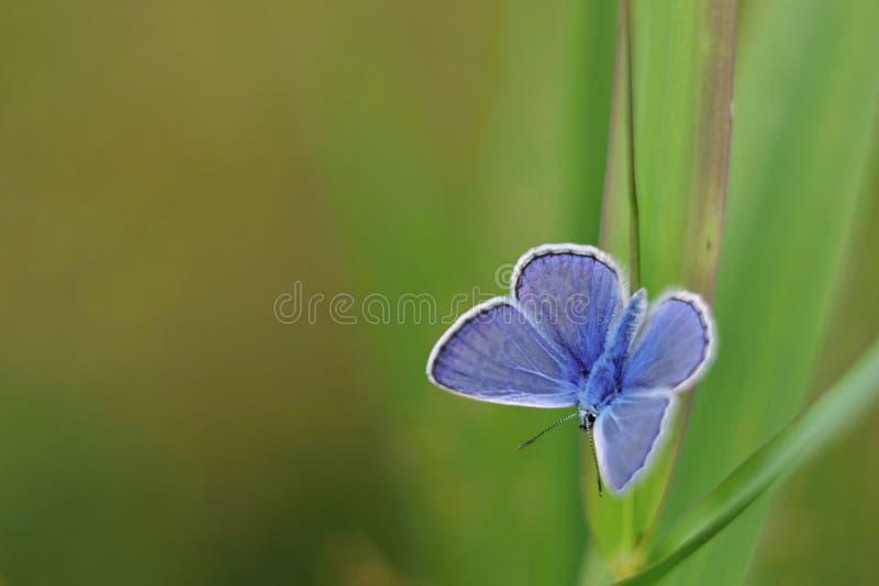 Polyommatus Ícaro - mariposa azul en backround verde fotografía de archivo libre de regalías