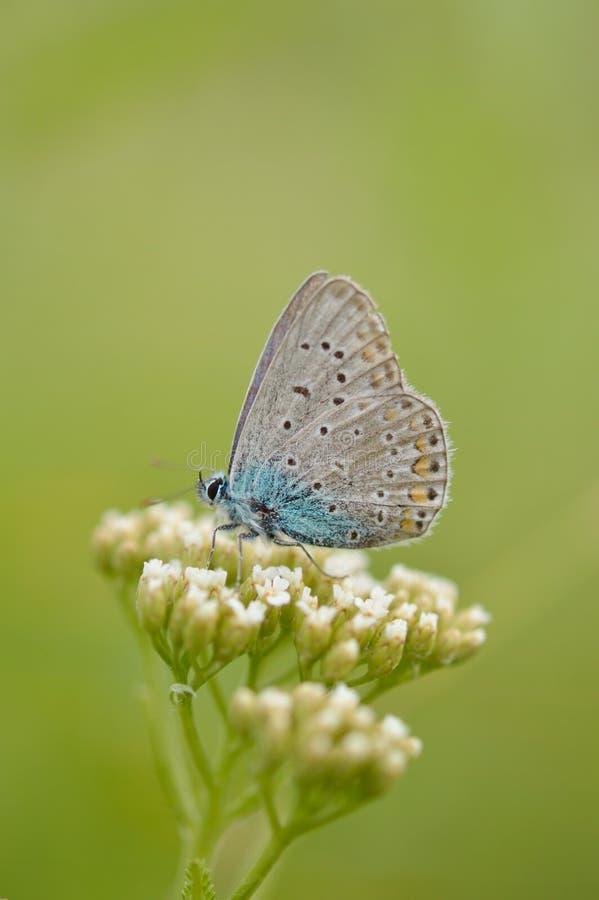 Polyommatus Икар, общая синь стоковое изображение rf