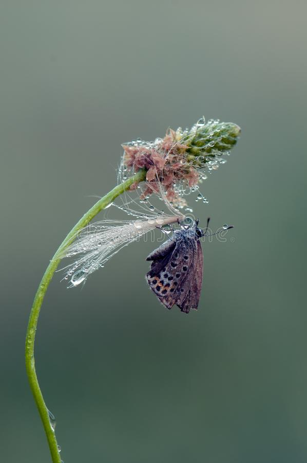 Polyommatus艾卡罗计-在森林花的昼夜蝴蝶在露水 库存图片
