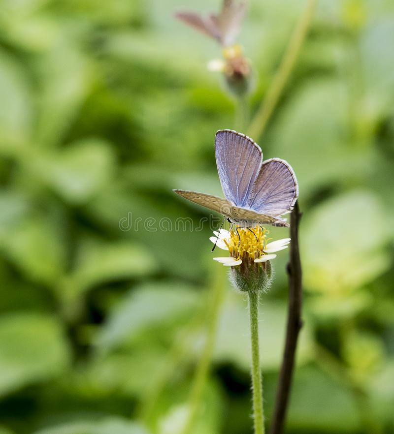 Polyommatus butterflies in the family Lycaenidae. Its species are found in the Palearctic realm. Polyommatus is a diverse genus of butterflies in the family royalty free stock photo