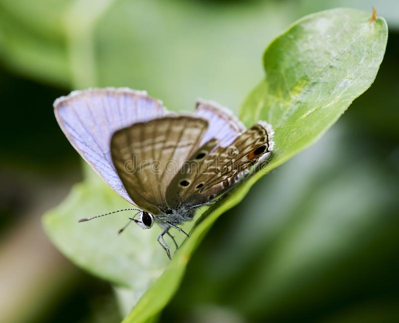 Polyommatus is a diverse genus of butterfly. Polyommatus is a diverse genus of butterflies in the family Lycaenidae. Its species are found in the Palearctic royalty free stock image