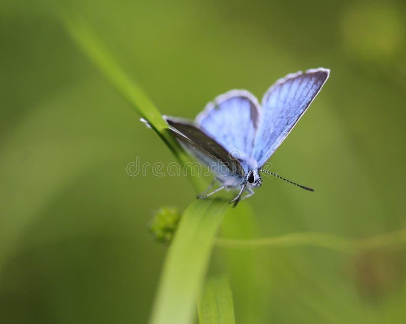 Polyommatus dorylas, η τυρκουάζ μπλε πεταλούδα της οικογένειας Lycaenidae στοκ φωτογραφίες