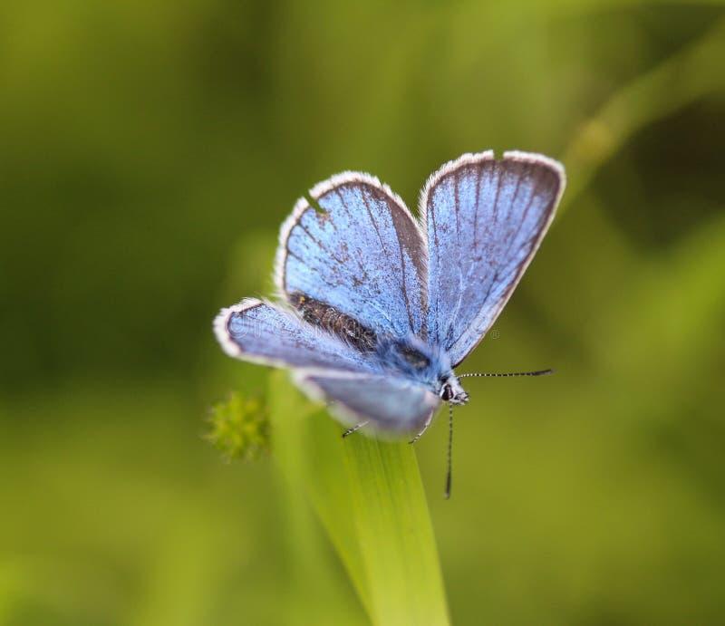 Polyommatus dorylas, η τυρκουάζ μπλε πεταλούδα της οικογένειας Lycaenidae στοκ εικόνες