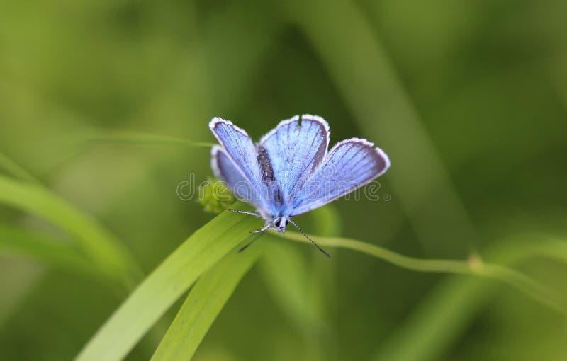 Polyommatus dorylas, η τυρκουάζ μπλε πεταλούδα της οικογένειας Lycaenidae στοκ εικόνα με δικαίωμα ελεύθερης χρήσης