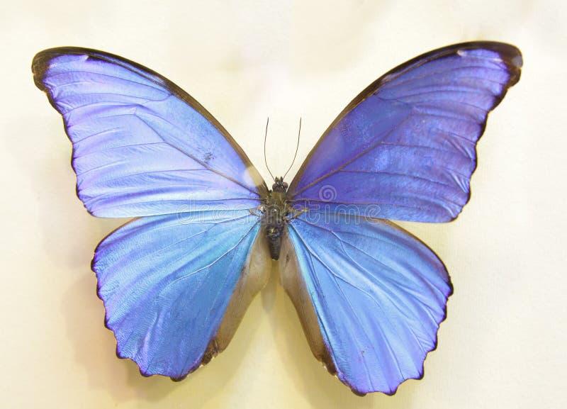 Polyommatus Icarus royalty-vrije stock fotografie