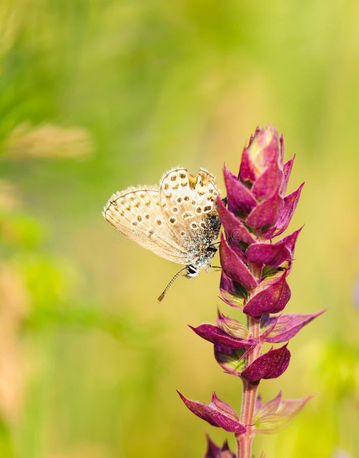 Polyommatus Icarus, gemensam blått, är en fjäril i familjlycaenidaen Härligt fjärilssammanträde på blomma royaltyfria foton