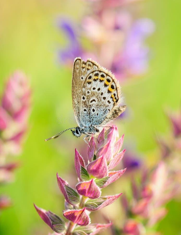 Polyommatus Icarus, gemensam blått, är en fjäril i familjlycaenidaen Härligt fjärilssammanträde på blomma royaltyfri fotografi