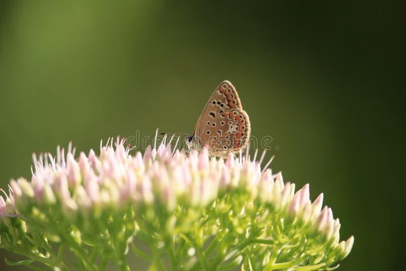 Polyommatus Icarus na Sedum spectabile kwiacie obrazy royalty free